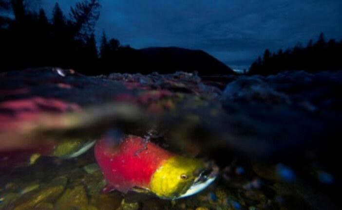 Bitumen spill would harm swimming performance of migrating B.C. salmon: study