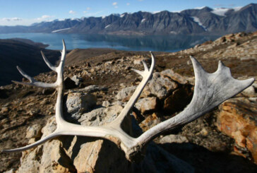 As caribou herds dwindle, policies to protect them threaten northern way of life