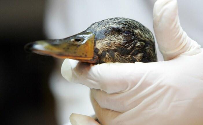 Yedlin: Pembina Institute misfires targeting Syncrude duck deaths