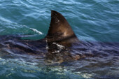 Threatened sharks, rays still major part of global fin trade, Canadian study finds