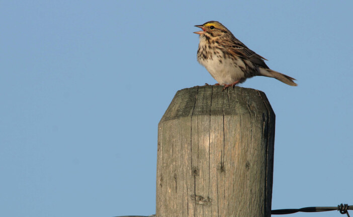 Songbirds on Alberta oilfields are changing their tunes to cope with the noise