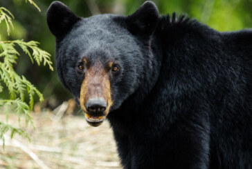 Two hikers fight off bear attack near Sudbury